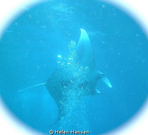Manta Ray , I got 3 great videos , the photo is not the g... by Helen Hansen 